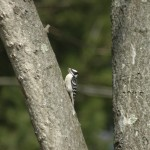 Woodpecker on Branch